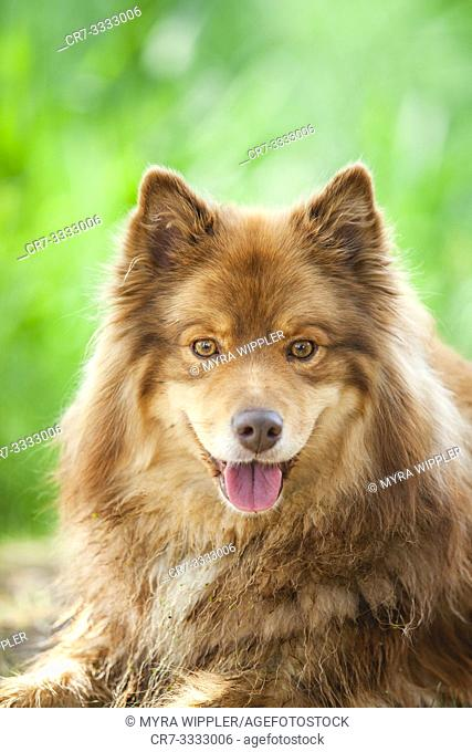 Expressive face of a Finnish Lapphund dog