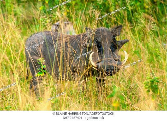 Warthogs, Kwando Concession, Linyanti Marshes, Botswana