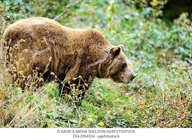 Cose-up of a standing Eurasian brown bear (Ursus arctos arctos) in the Bavarian Forest, Germany
