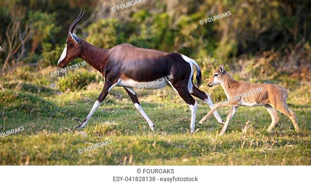 A very young Bontebok calf running behind it's mother to safety