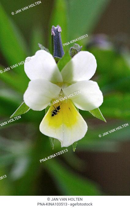Field Pansy Viola arvensis