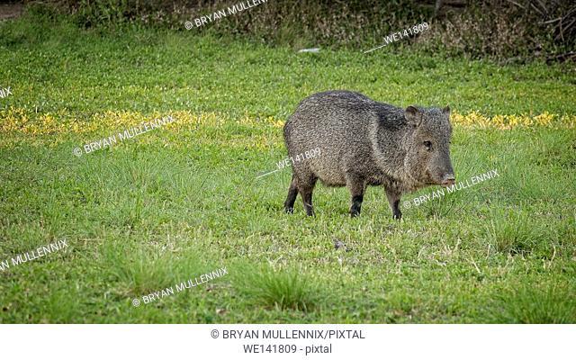 Wild Javelina eats grass in Big Bend National Park, Texas