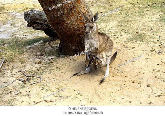 Australia Kangaroo With Young