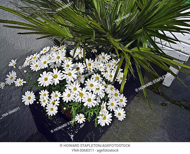 A planter box or white daisies (Leucanthemum vulgarea member of the plant family Asteraceaein), in Stavanger, Norway