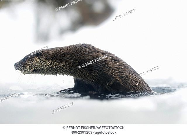 Otter (Lutra lutra), coming out from water of frozen mountain creek, National Park Bayerischer Wald, Bavaria, Germany