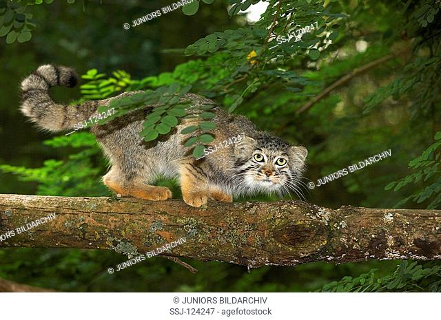 Pallas cat - standing on branch / Felis manul