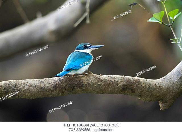 Collared Kingfisher, Todiramphus chloris, Goa, India