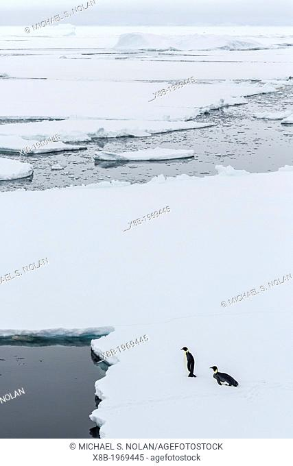 Adult emperor penguins, Aptenodytes forsteri, on sea ice in Crystal Sound, below the Antarctic Circle, Antarctica, Southern Ocean
