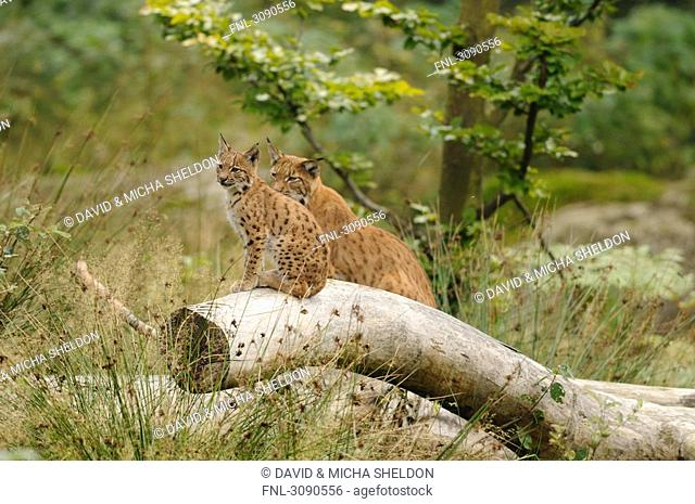 Young Lynx Lynx lynx and mother animal sitting on tree trunk, Bavarian Forest, Germany
