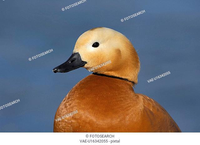 ferruginea, bird, duck, creature, bird animal, freedom, animal