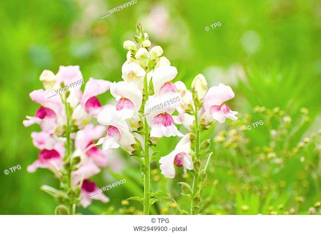 colorful snapdragon flowers in wild with fresh green background