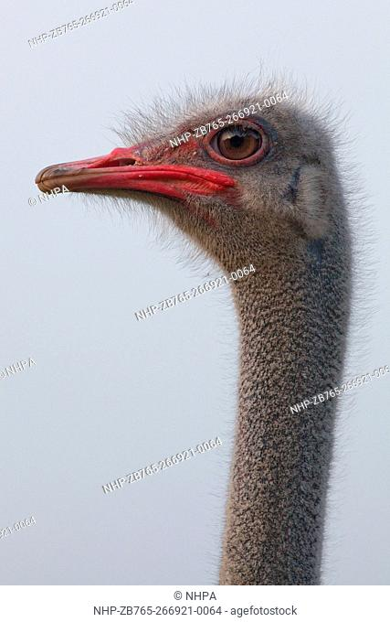 Ostrich (Struthio camelus). Male