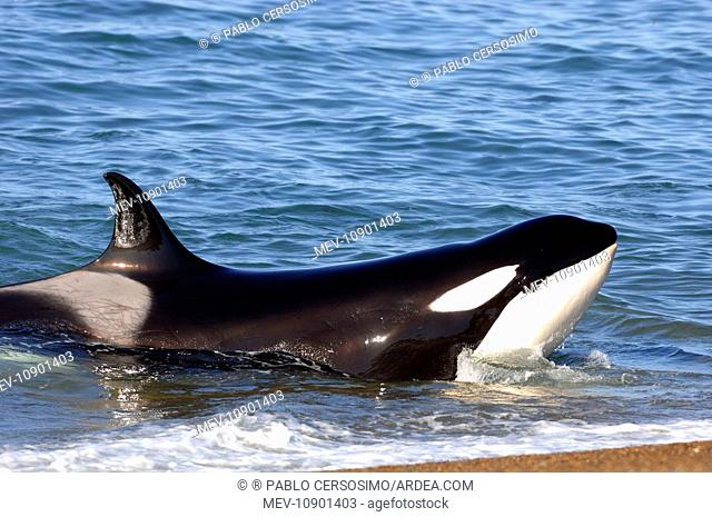 Orca / Killer Whale (Orcinus orca). Peninsula Valdes, Patagonia, Argentina, South America, South Atlantic Ocean