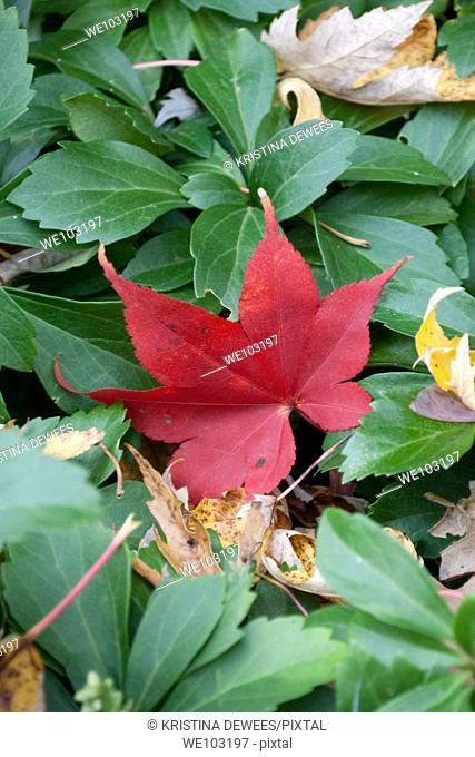 A red Japanese Maple leaf among Fall leaves and green Pachysandra