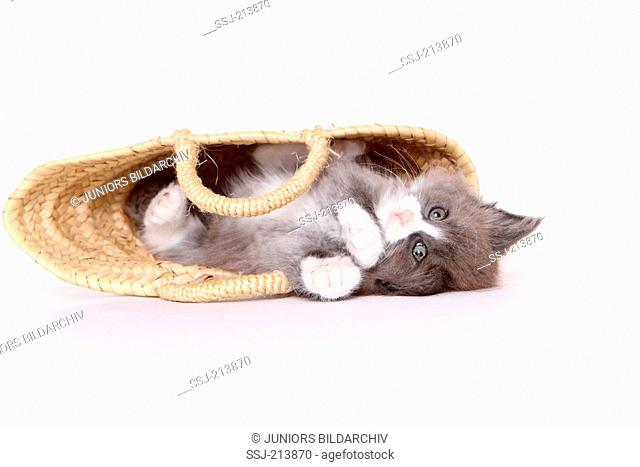 Norwegian Forest Cat. Kitten (6 weeks old) playing in shopping bag. Studio picture against a white background. Germany