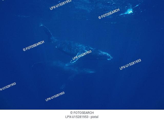 Two Humpback Whales Swimming Underwater