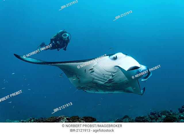 Scuba diver watching a Manta Ray (Manta birostris) swimming above coral reef, Great Barrier Reef, UNESCO World Heritage Site, Cairns, Queensland, Australia