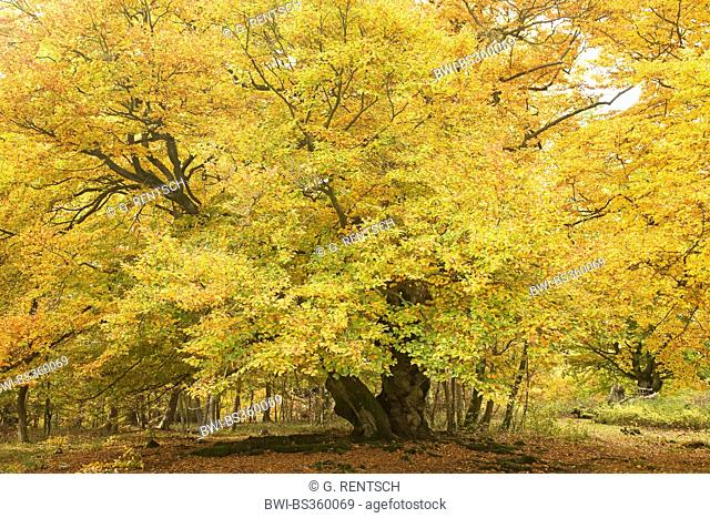 common beech (Fagus sylvatica), in autumn, Germany, Hesse, Naturpark Edersee, Bad Wildungen