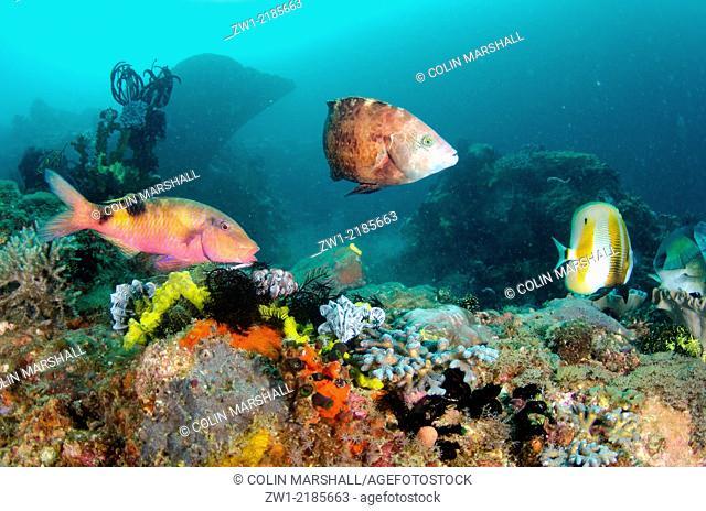 Manybar Goatfish (Parupeneus multifasciatus), Floral Wrasse (Cheilinus chlorourus) and Orange-banded Coralfish (Coradion chrysozonus), Cannibal Rock dive site