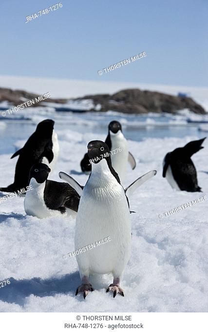 Adelie penguins Pygoscelis adeliae, Dumont d'Urville, Antarctica, Polar Regions
