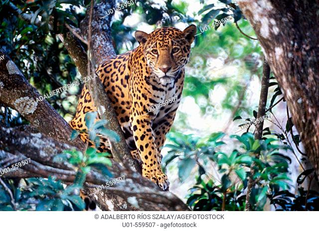 Jaguar (Panthera onca). Mexico