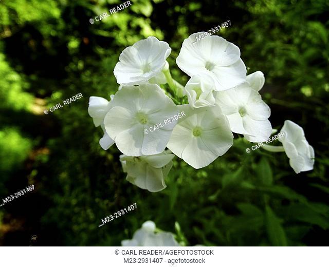 Rare white rocket flowers in summer, Pennsylvania, USA