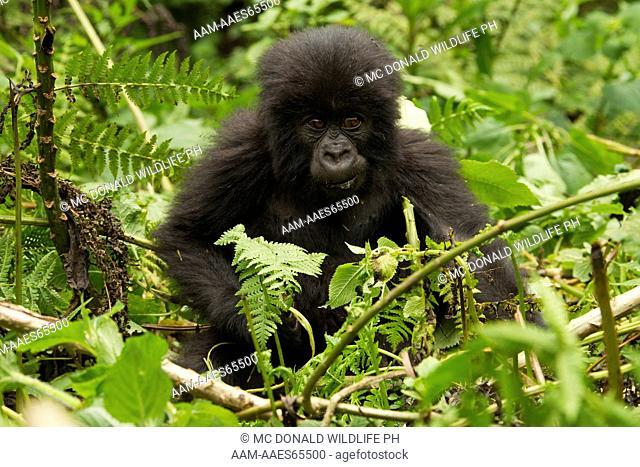 Mountain Gorilla baby (Gorilla gorilla beringei) Umubano Group, Volcanoes National Park, Rwanda