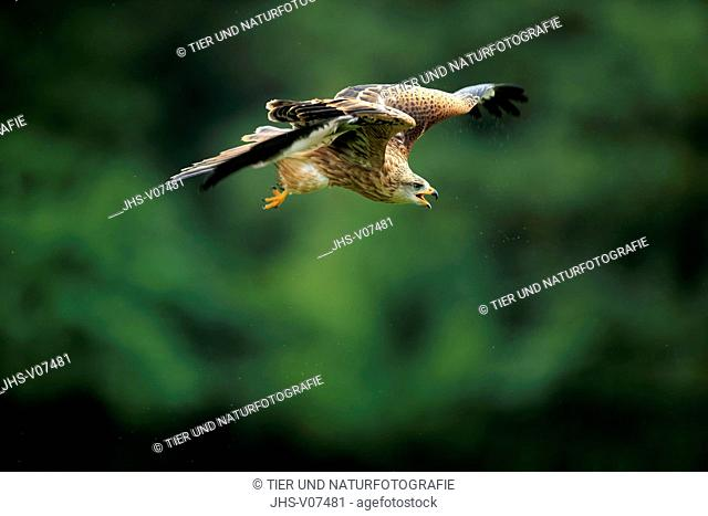 Red Kite, (Milvus milvus), adult flying and calling, Eifel, Germany, Europe