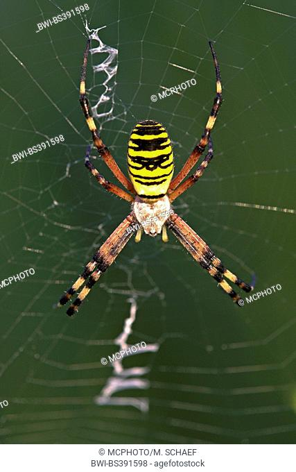 Black-and-yellow argiope, Black-and-yellow garden spider (Argiope bruennichi), in its web, Switzerland, Valais