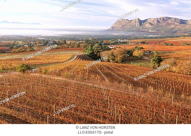 Autumn Vineyard Scenic - High Angle View  Klein Constantia, Peninsula, Western Cape Province, South Africa