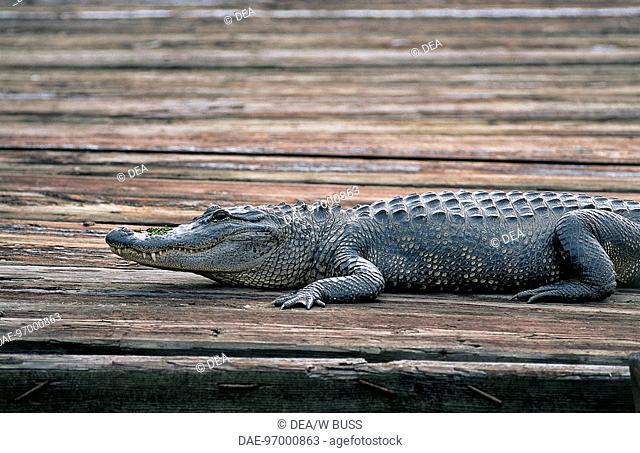 Zoology - Reptiles - Alligator - Houma Bayous - State of Louisiana - United States of America