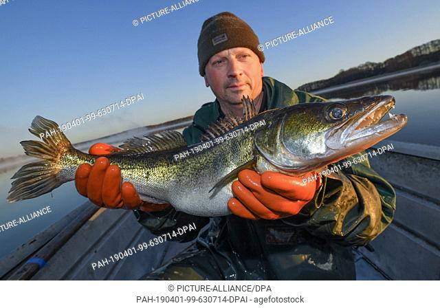 01 April 2019, Brandenburg, Groß Schauen: Laszlo Acz, fisherman of the fishery Köllnitz, holds a zander in his hands early in the morning at sunrise