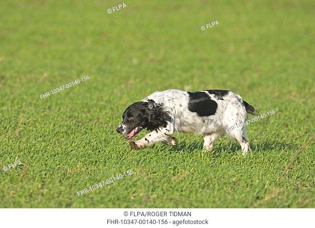 Domestic Dog, English Springer Spaniel, adult, running, working on shoot, Norfolk, England
