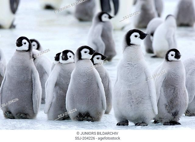 Emperor Penguin (Aptenodytes forsteri). Group of chicks standing on ice. Snow Hill Island, Antarctica