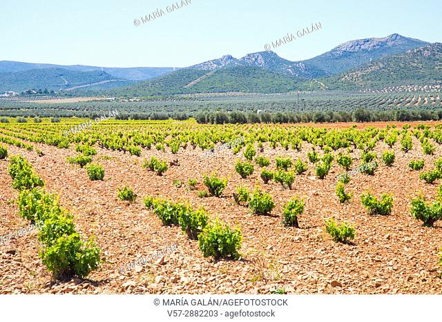 Vineyards and olive groves. Las Labores, Ciudad Real province, Castilla La Mancha, Spain