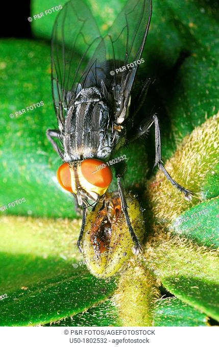Blow fly feeding on nectar, Sarcophagidae, Diptera  2012