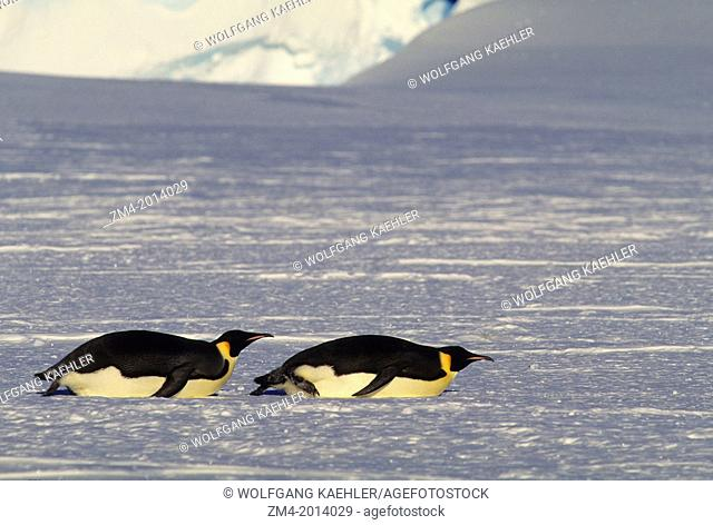 ANTARCTICA, ATKA ICEPORT, EMPEROR PENGUINS TOBOGGANING, GOING OUT TO SEA TO FEED