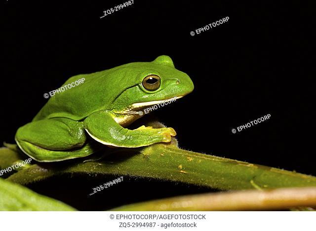 Giant Treefrog, Rhacophorus maximus, Kivikha, Nagaland, India