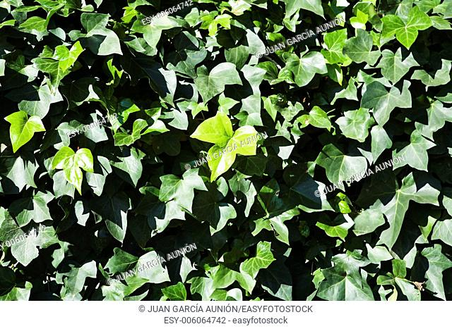 Green leaf wall background, Andalusia, Cordoba, Spain
