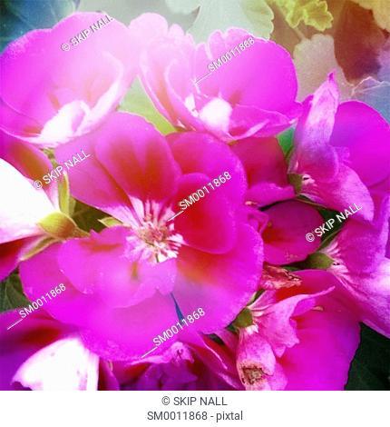 Geraniums in a garden