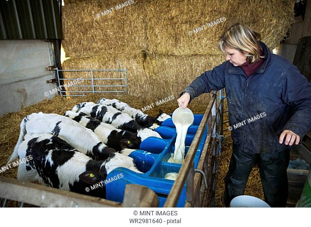 Woman standing in a stable, pouring milk into a feeder for five black and white calves