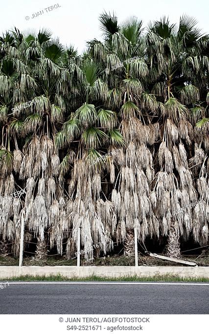 Palms for sale garden center, Cullera, Valencia, Spain