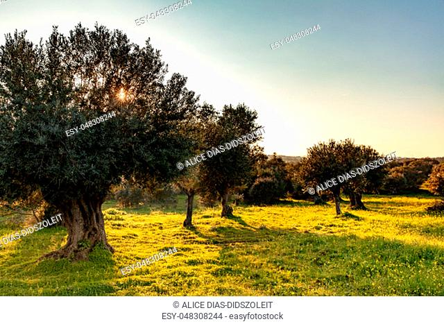 old olive trees grove in bright morning sunlight Alentejo Landscape Portugal