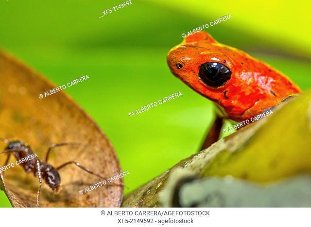 Dart Poison Frog, Blue Jeans, Oophaga pumilio, Dendrobates pumilio,Tropical Rainforest, Costa Rica, Central America, America