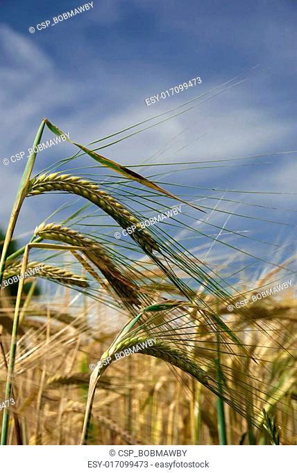 Wheat Ripening in the Sun