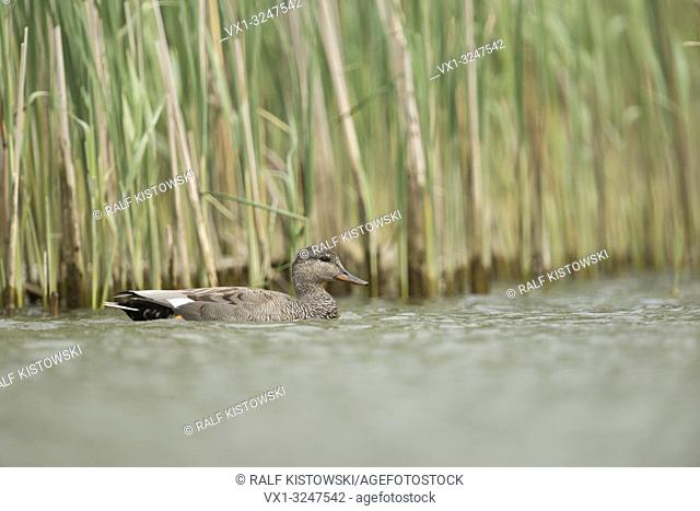 Gadwall Duck / Schnatterente ( Anas strepera ), drake in breeding dress, swimming close along a reed belt, in natural surrounding