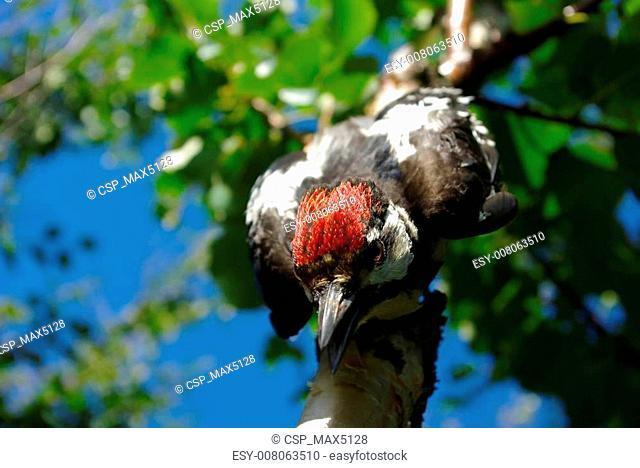 Improbable woodpecker