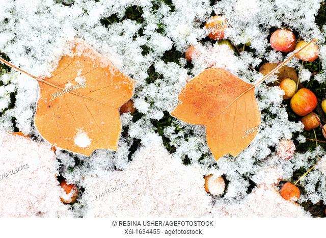 Tulip Tree Liriodendron tulipifera Leaves and Ornamental Apples Malus sp , on ground, covered with frost, Lower Saxony, Germany