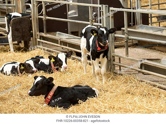 Domestic Cattle, Holstein Friesian dairy calves, with collars and ear tags, on straw bedding in pen, Dumfries, Dumfries and Galloway, Scotland, May