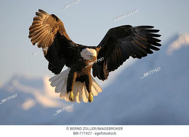 Bald Eagle (Haliaeetus leucocephalus) landing in front of a mountain, Kachemak Bay State Park, Kenai Peninsula, Alaska, USA